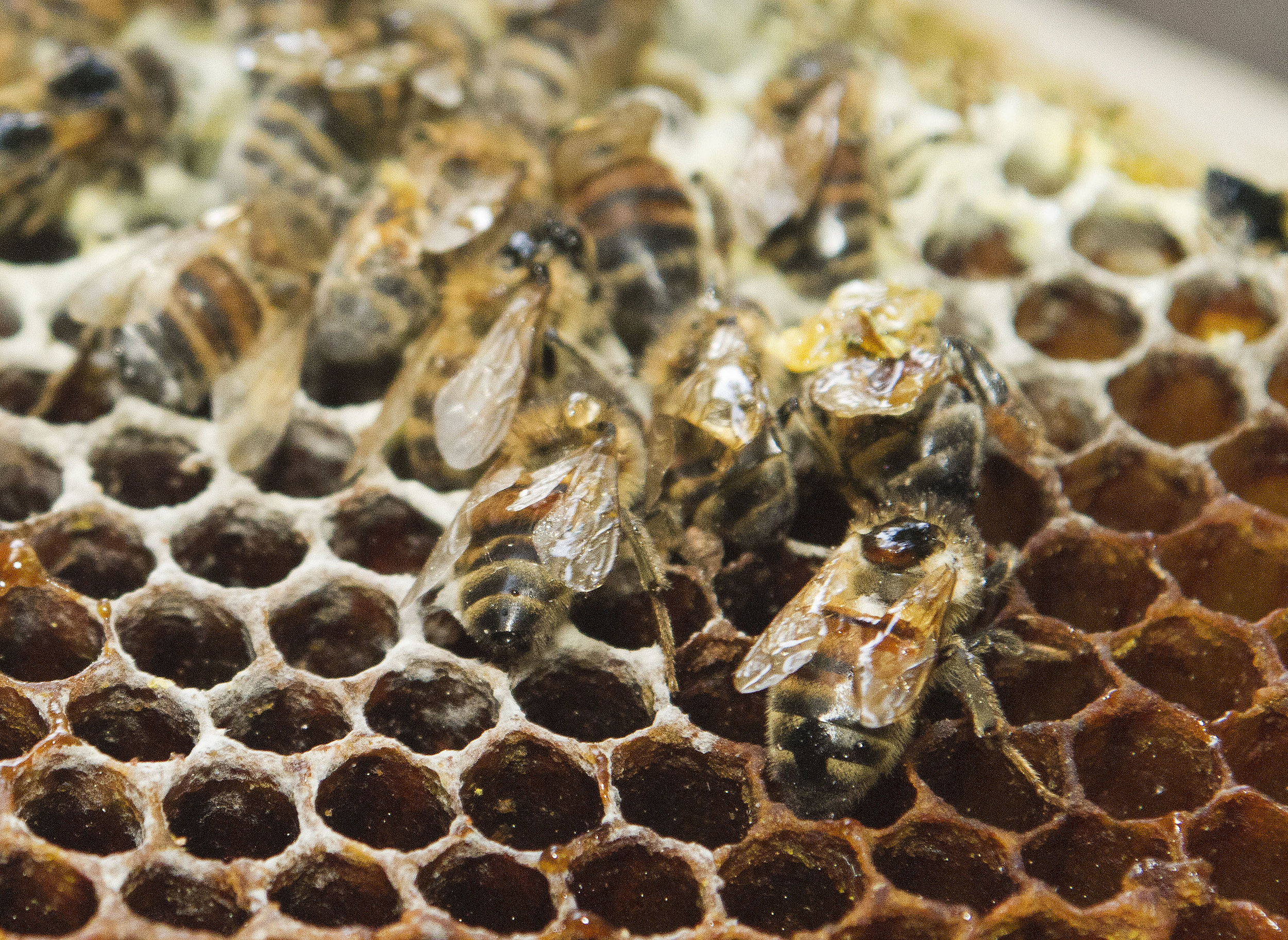 Samples of Small hive beetle were found in New Brunswick on June 3 and 4 in hives imported from Ontario. The beetle's larvae is the main cause of damage, devouring pollen, bee larvae, and honey. The pest also defecates in honey, spoiling it. (New Brunswick Department of Agriculture, Aquaculture and Fisheries photo)