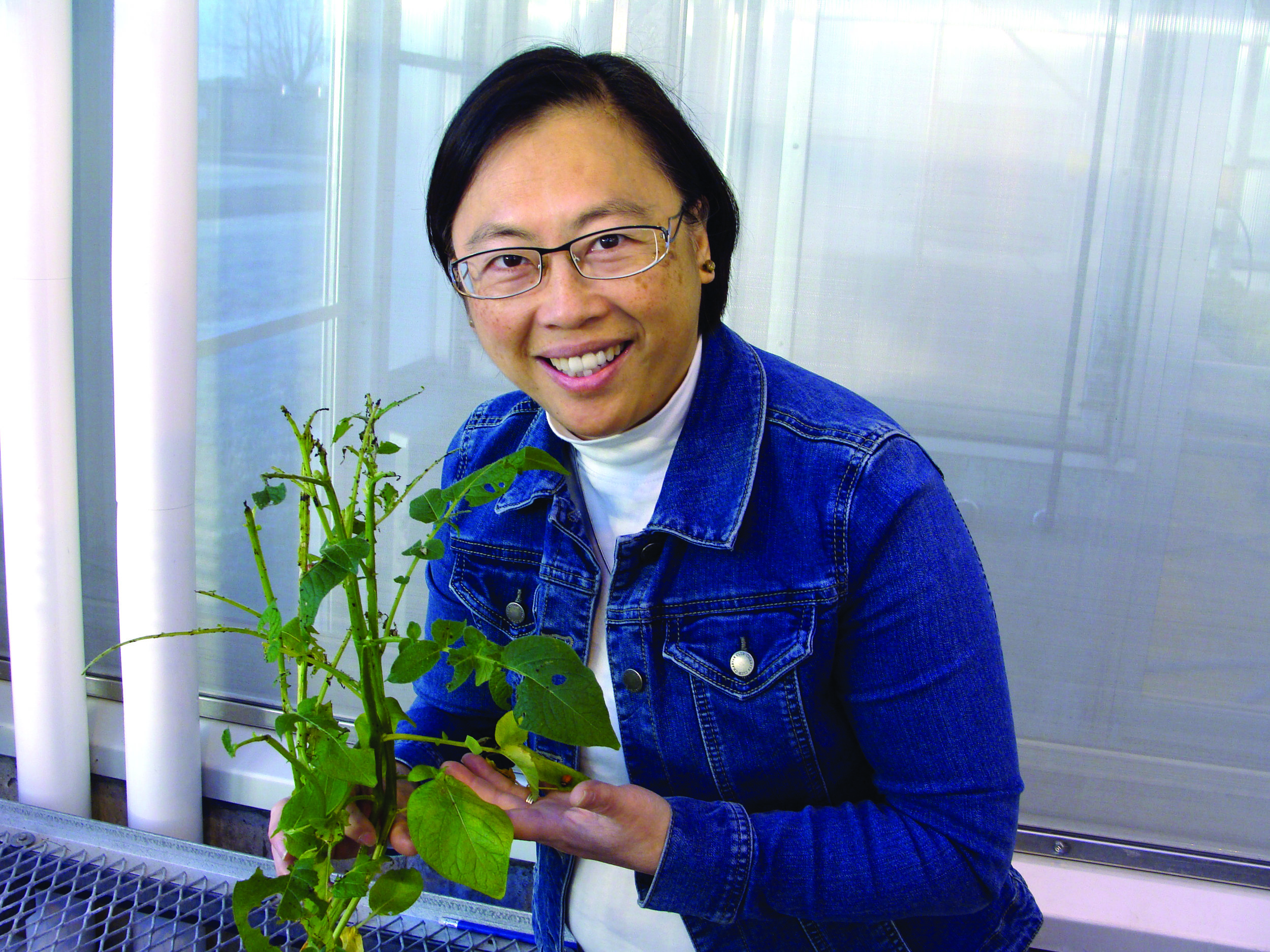 Dr. Helen Tai, an Agriculture and Agri-Food Canada research scientist, checks on a Colorado potato beetle in the greenhouse at the Fredericton Research and Development Centre. (Agriculture and Agri-Food Canada photo)