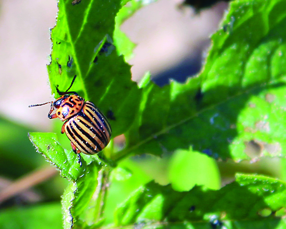 A Colorado potato beetle feeds on potato leaves. (Agriculture and Agri-Food Canada photo)