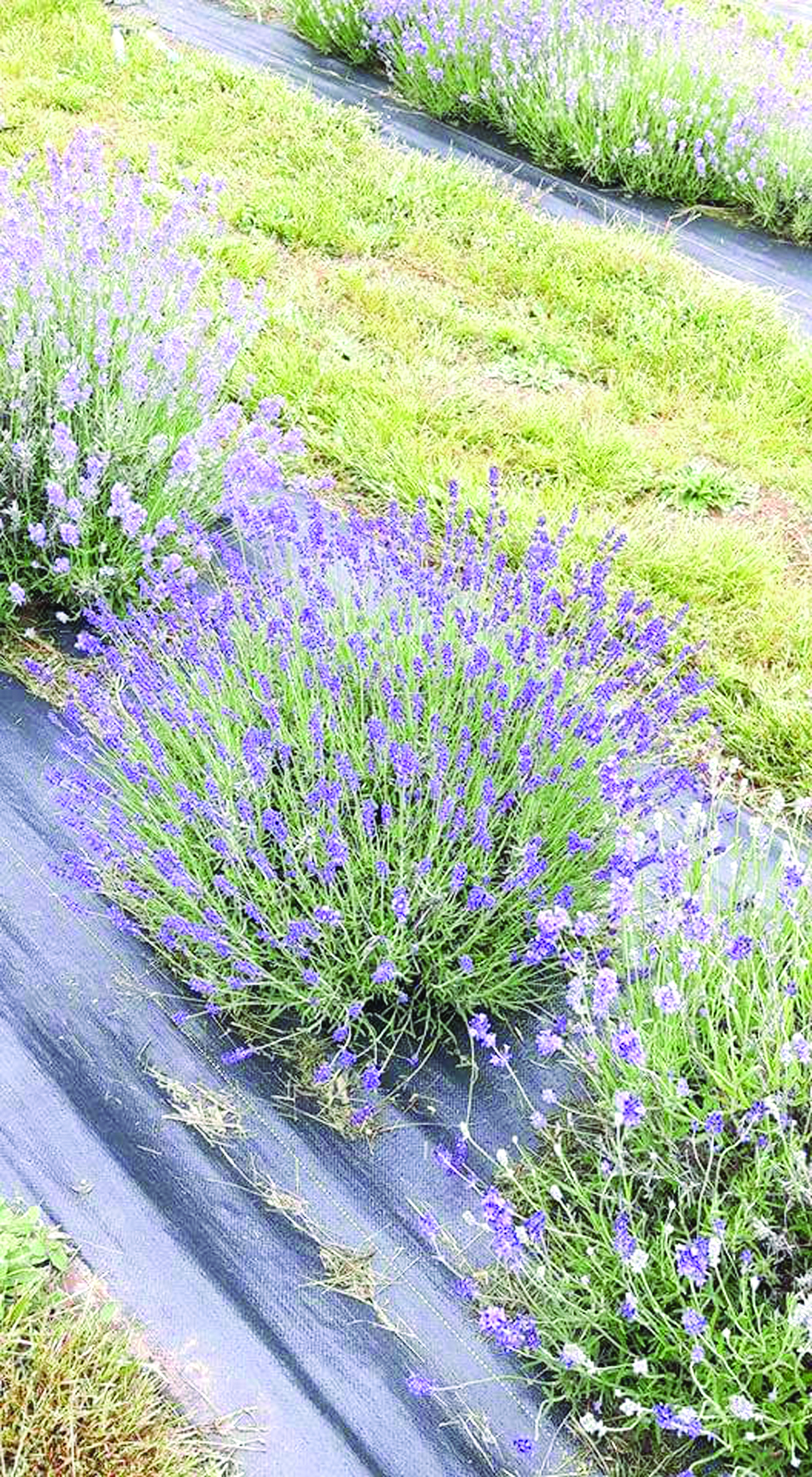 Weed barrier cloth is a low-maintenance option when growing lavender. (Submitted photo)