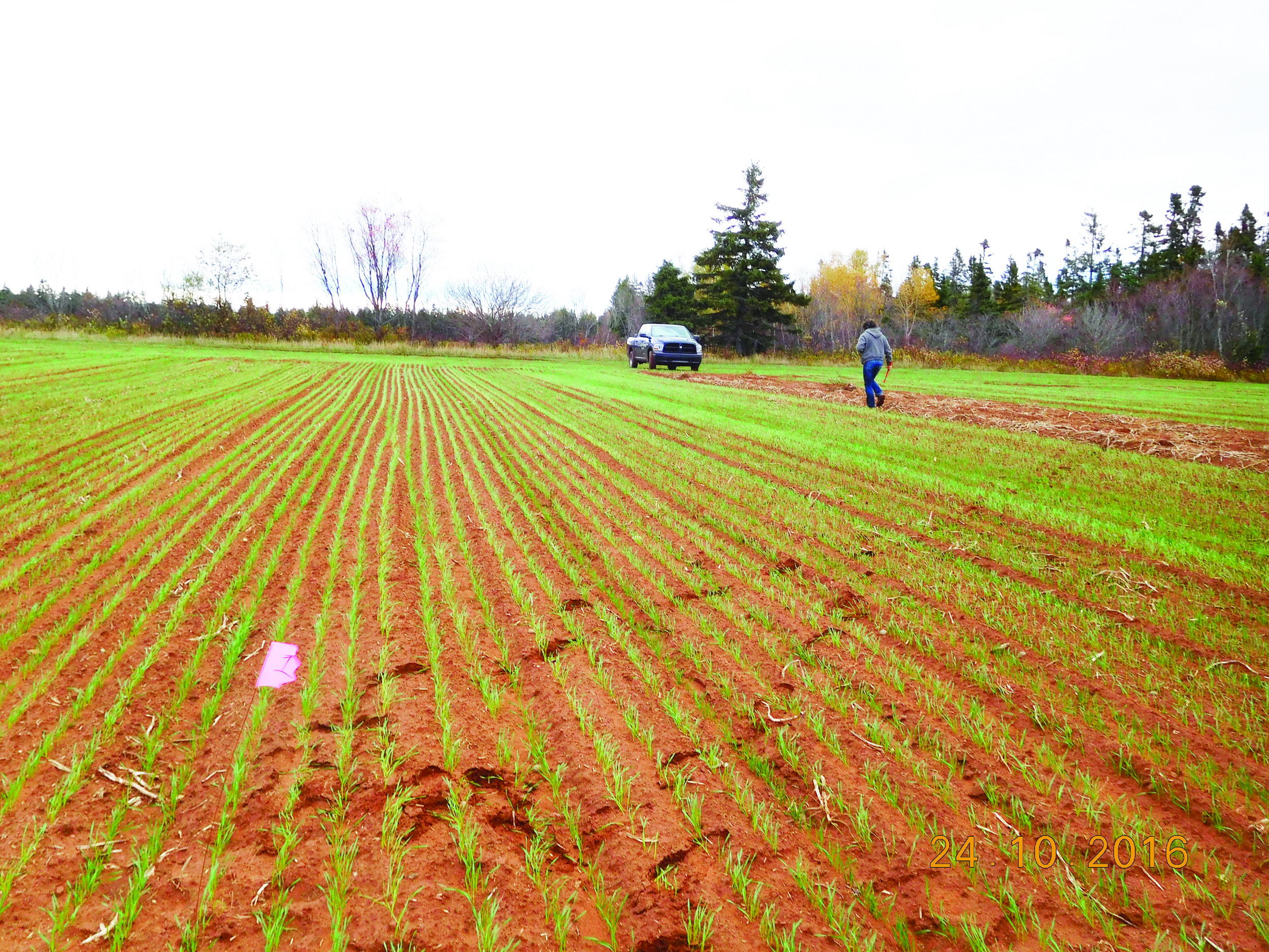 Winter wheat planted in a field after the potato harvest on the Ramsay farm in the Kensington area of Prince Edward Island shown on Oct. 24, 2016. Agriculture and Agri-Food Canada scientists collaborate with the Ramsays on research. Planting winter cereals following the potato harvest offers multiple benefits, such as protecting soil against erosion and scavenging residual nitrate. Winter cereals are also a potential source of revenue for farmers.