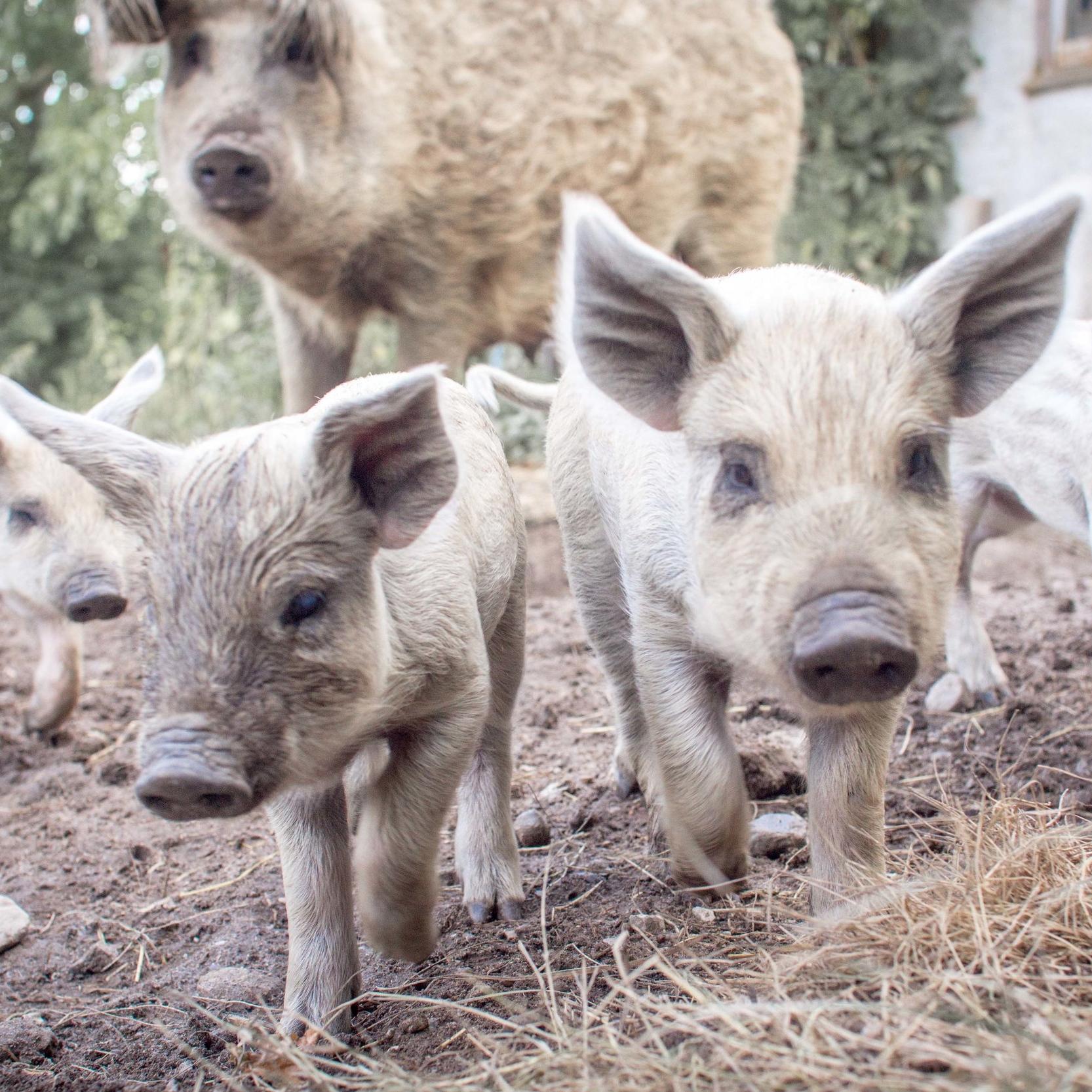 Pigs at Farm of Ideas - Rachel Elis Jones .jpg