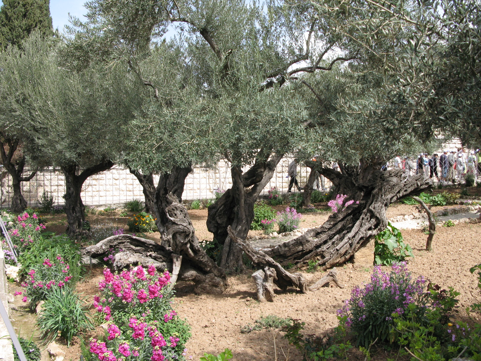 Gethsemene's oldest olive tree
