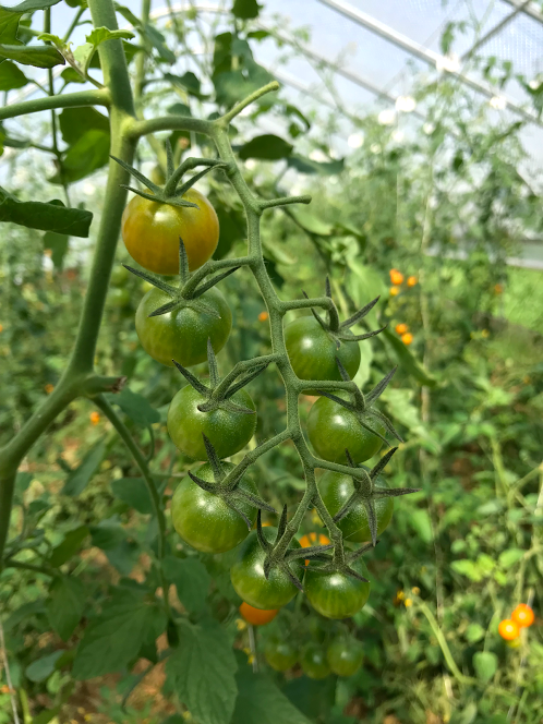 Sweet Cherry Tomatoes growing in Stone Barns Greenhouse