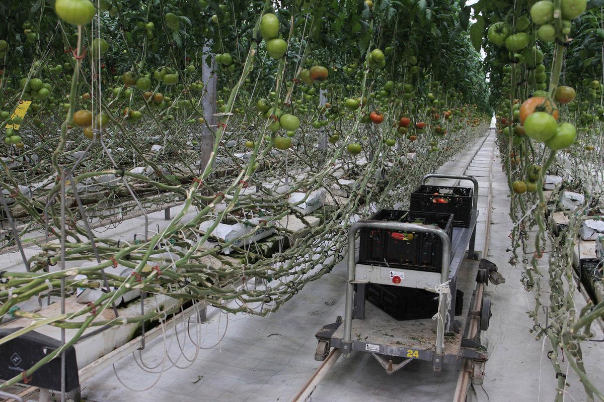 Agropark Tomatoes.jpg