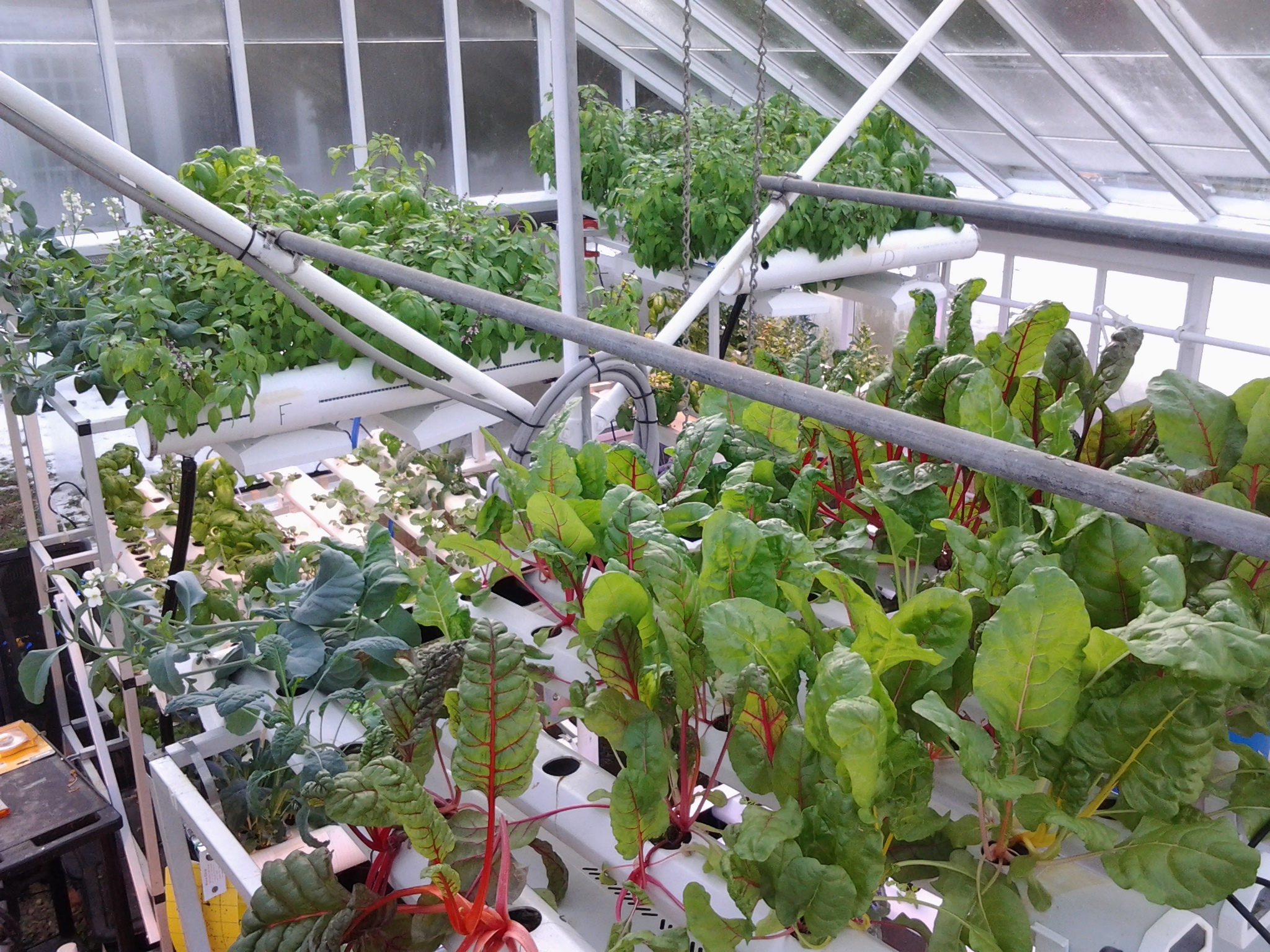 A hydroponic system used to grow leafy greens and herbs in the Boston College greenhouse.