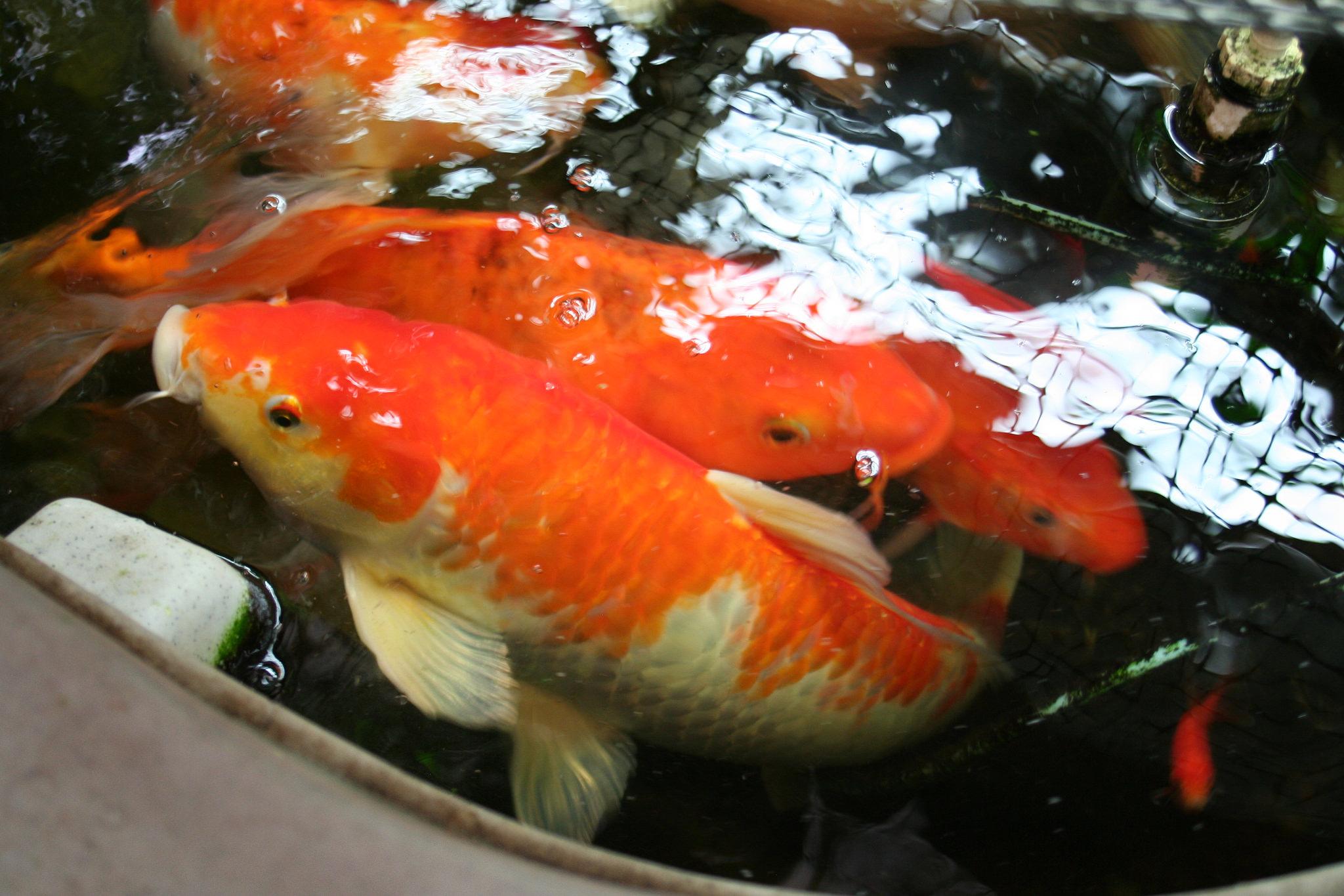 Collaborative Garden Aquaponic Fish.jpg