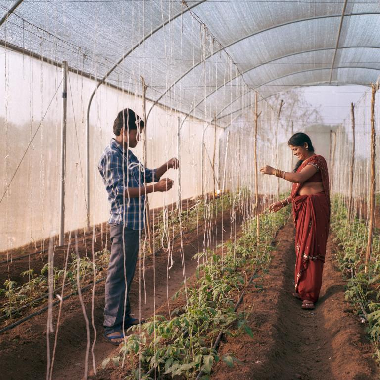 Bhavanth and wife Bujji, 32, tend tomatoes. The couple was part of pilot program for greenhouse cultivation.