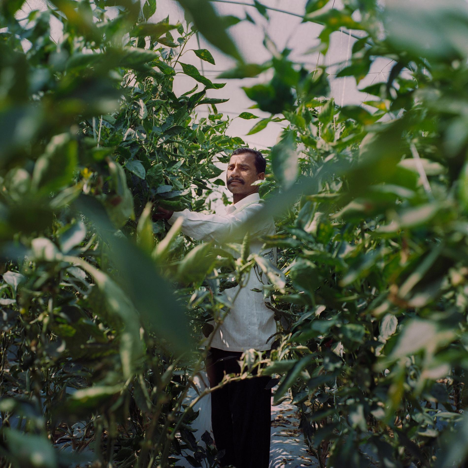 Venkatesh Appala, 45, grows bell peppers in Laxmapur. He started his greenhouse operation in January 2017, and estimates a profit of 46,000 rupees (just over $700) in his first year. He's using the extra income to save for his daughter's dowry, which can run up to $10,000.