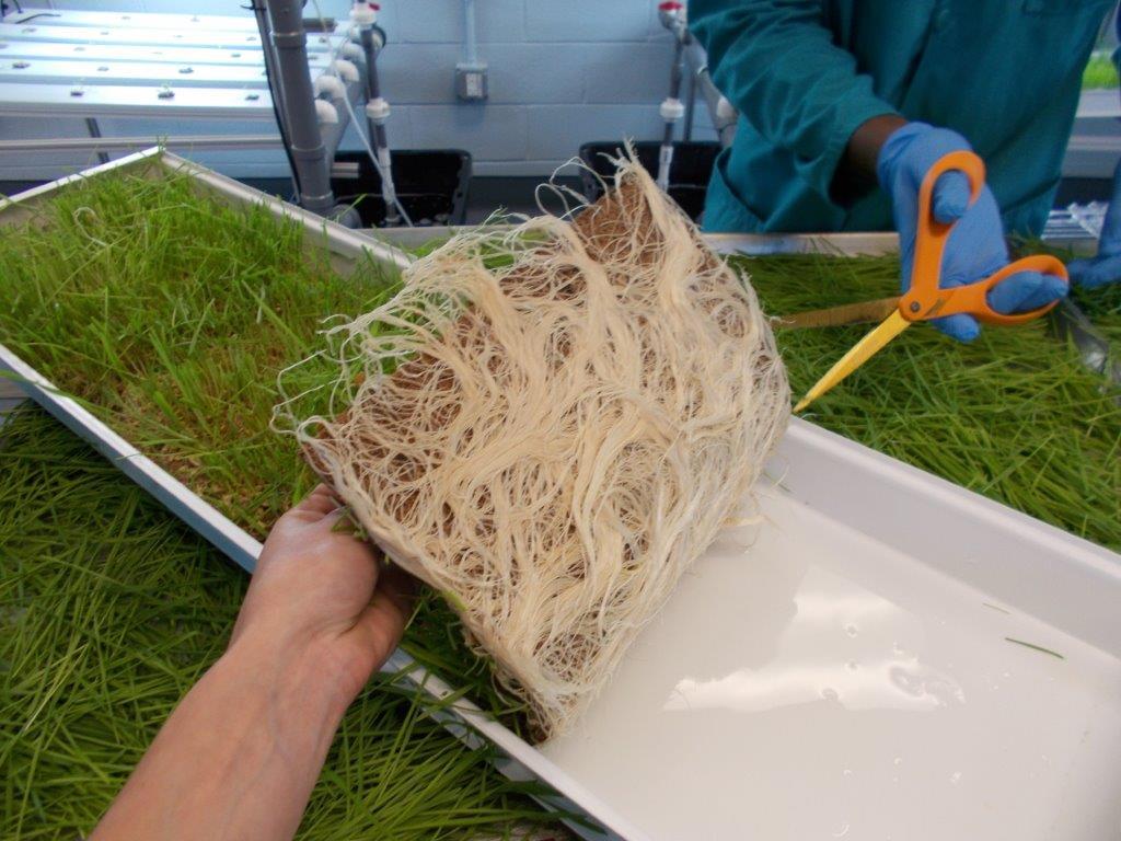 wheatgrass harvest.jpg