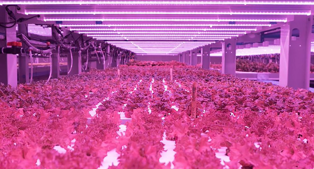 The seeds are placed on a type of mat made of recycled carpet that is food-certified. LED lights flood the room in a pink atmosphere, with each UV light containing a certain spectrum that is beneficial for the plants.