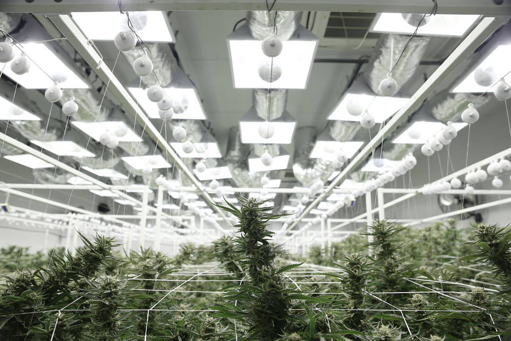 Marijuana plants in the flowering grow room of the Redwood Cultivation facility in Las Vegas.