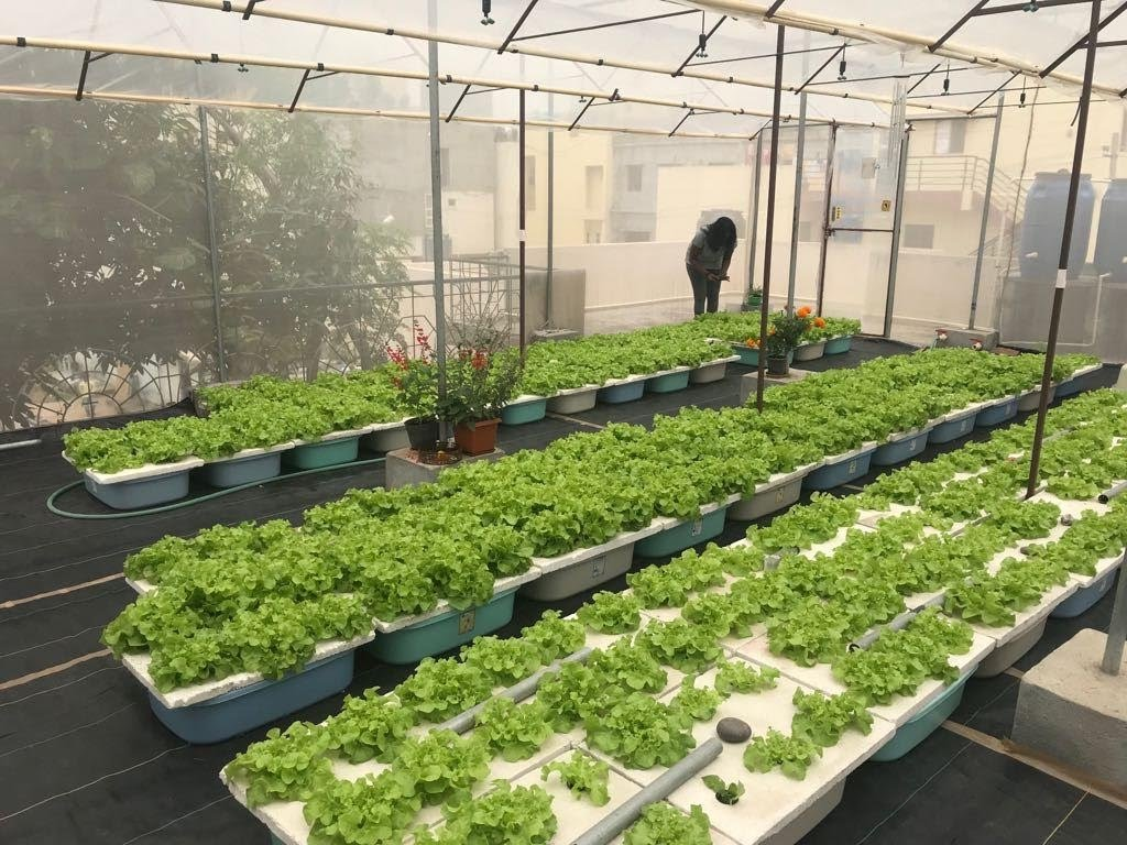 Ann Vinya's hydroponic oasis of lettuces.