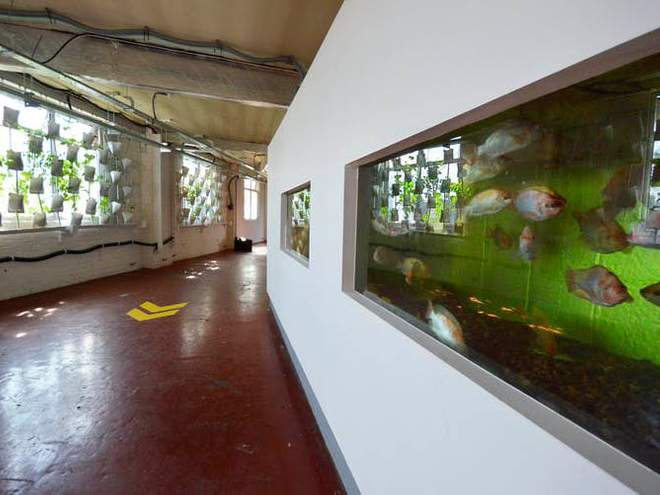 Aquaponic systems that grow food with the help of fish are a naturally lit option (Andrew Jenkins)