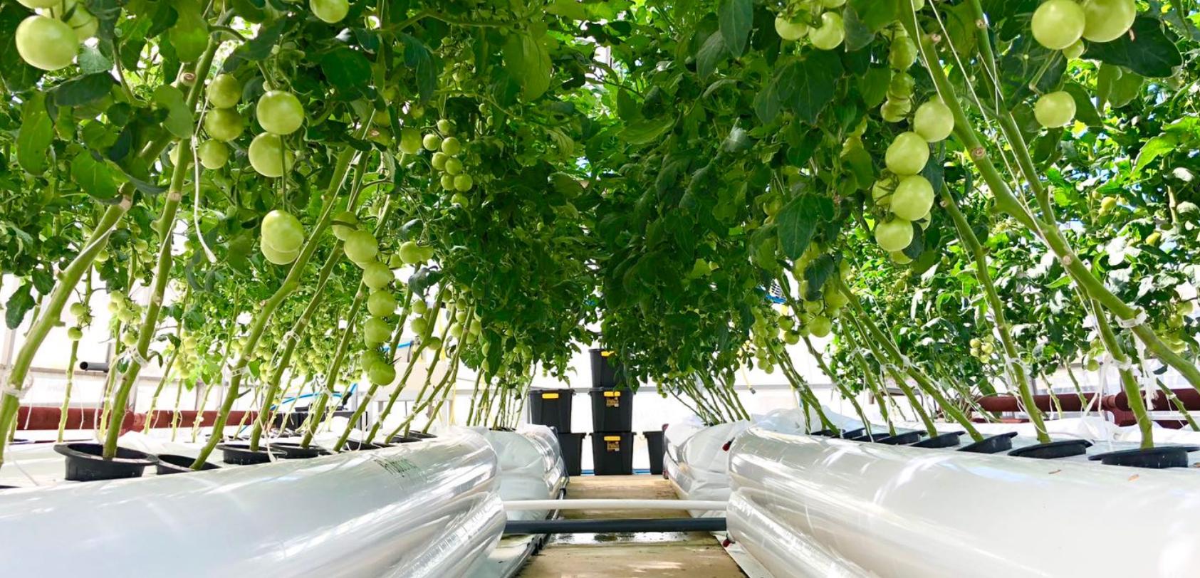 phytoponics greenhouse hydroponics.png