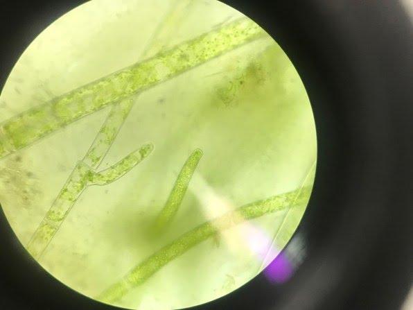 Spirogyra [Image: courtesy of Synthetic Landscape Lab Innsbruck University]