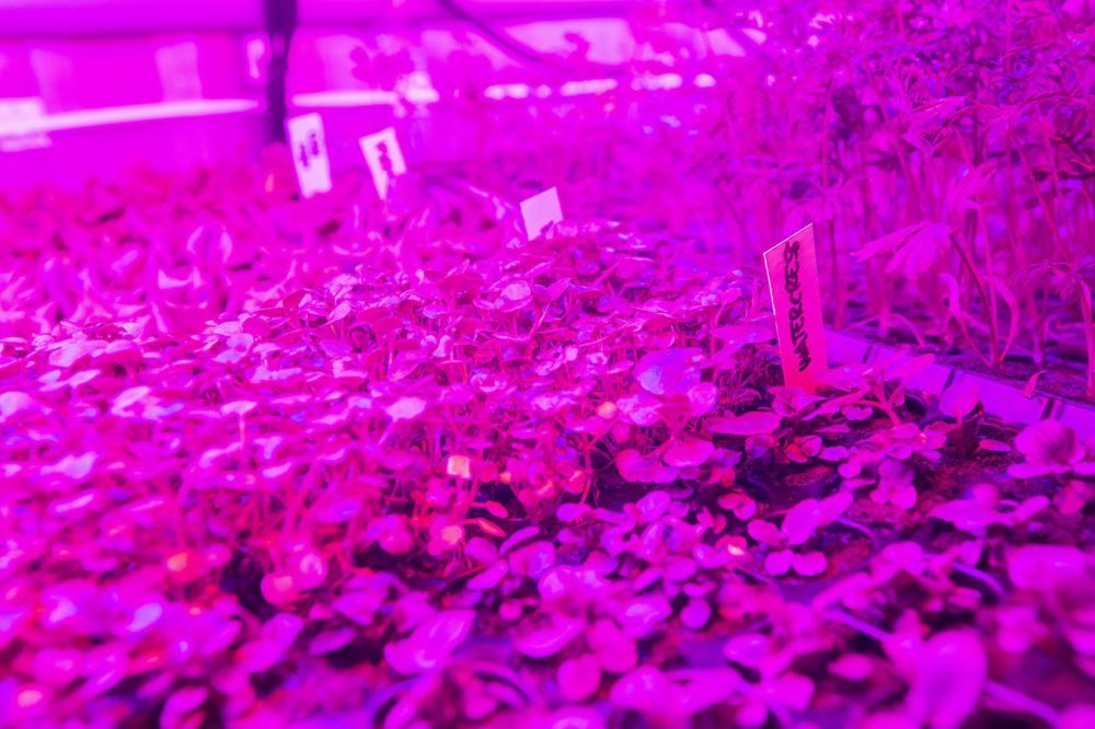 Watercress seedlings sprout beneath LED lights inside the Leafy Green Machine. (Jesse Costa/WBUR)
