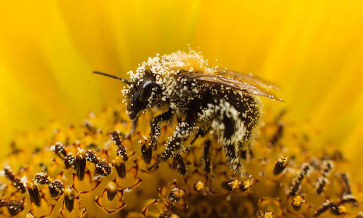 Bee populations have plummeted worldwide. The UN conference will debate ways of reducing use of harmful pesticides. Photograph: Michael Kooren/Reuters