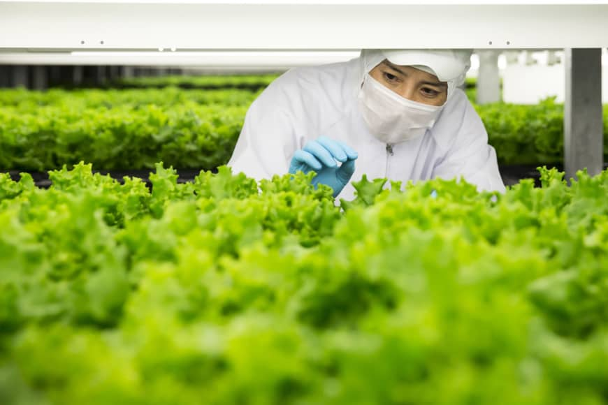 A worker examines lettuce at Spread Co.'s vertical farm in Kameoka, Kyoto Prefecture.