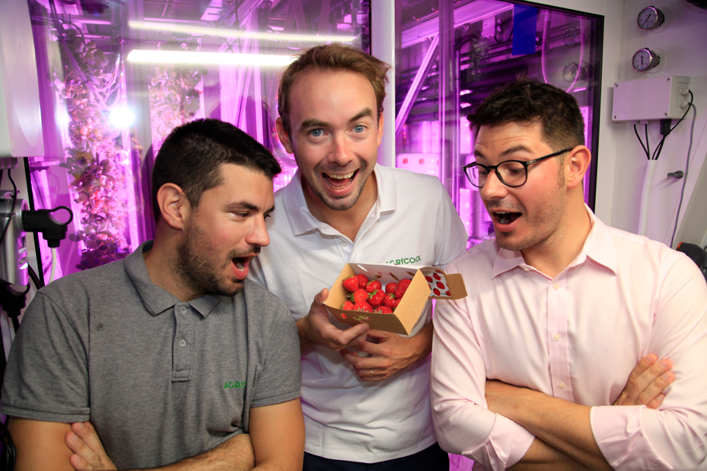 Agricool strawberries harvested in the UAE's first Cooltainer farm.