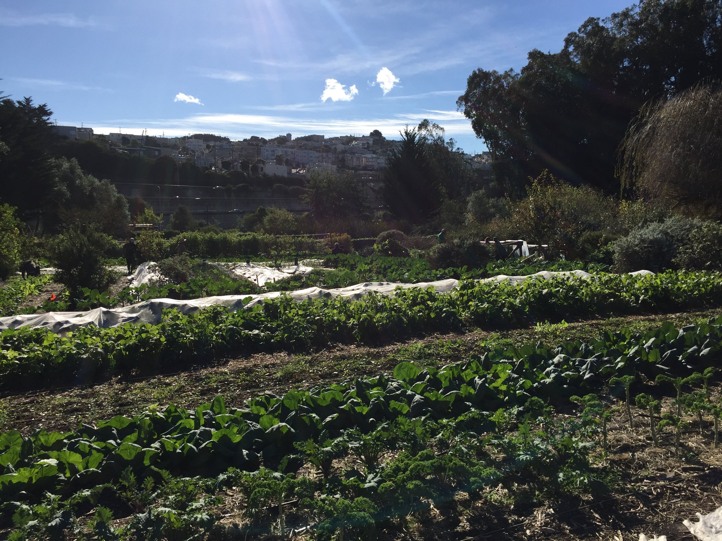 Winter crops growing at Alemany Farm, a 3.5 acre urban farm located in San Francisco.