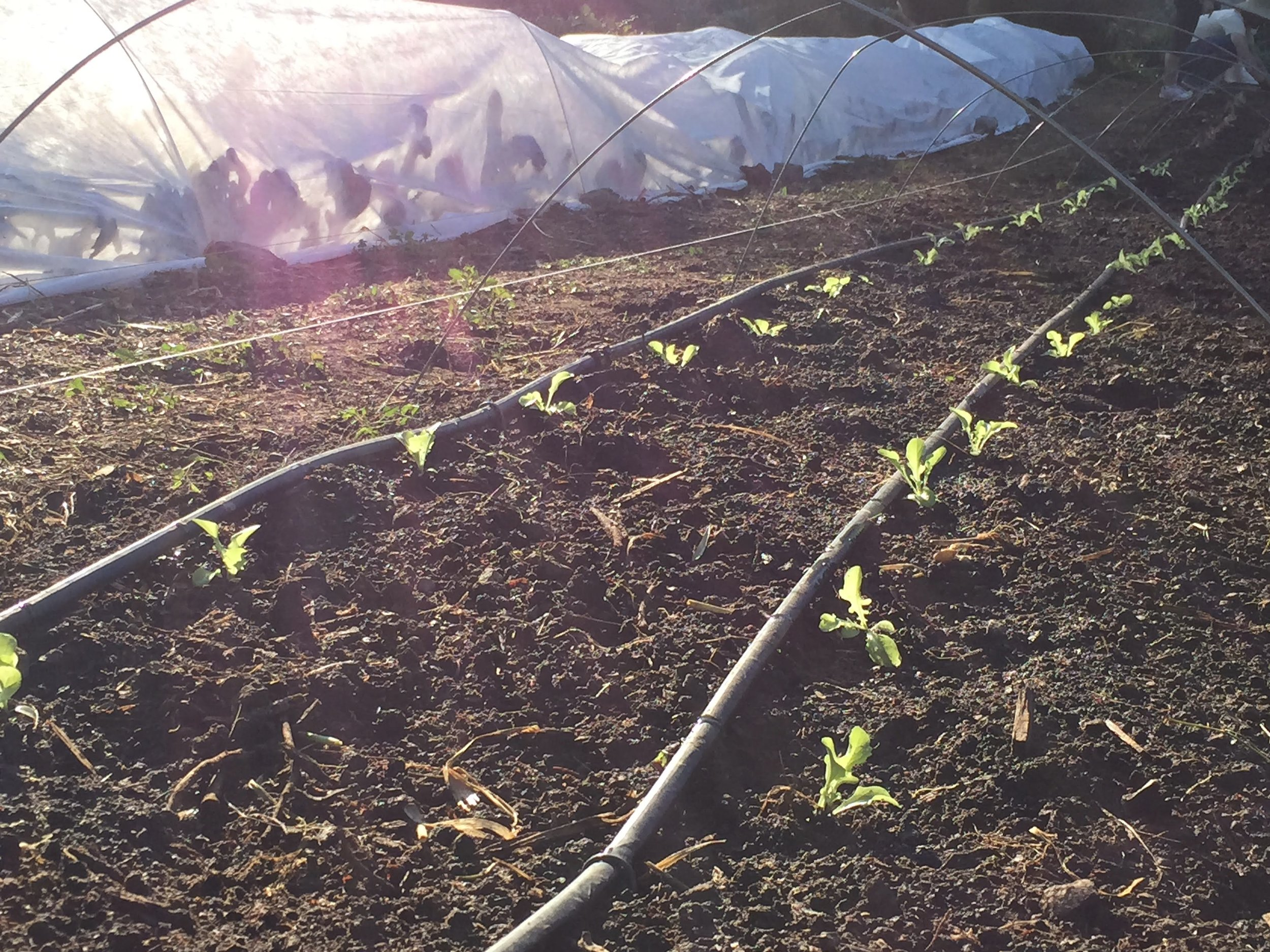 Lettuce 'starts' in one of Alemany Farm's 38 crop rows.