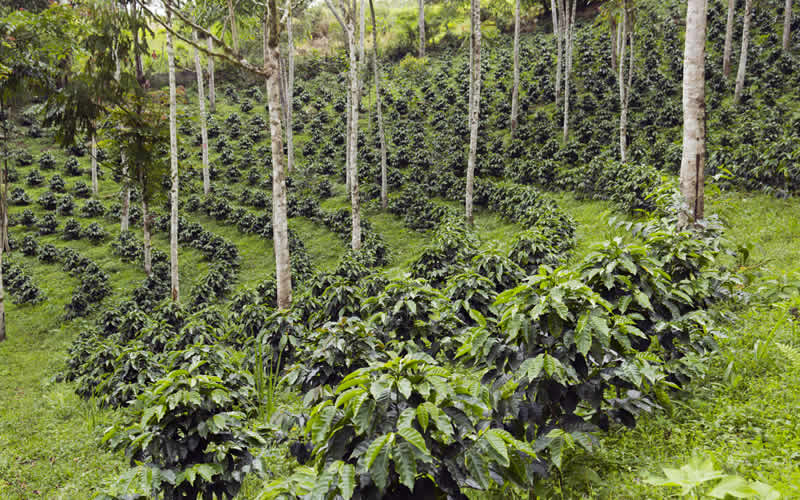 Coffee crops grow alongside other plants in what is known as an Agroforestry approach to farming.