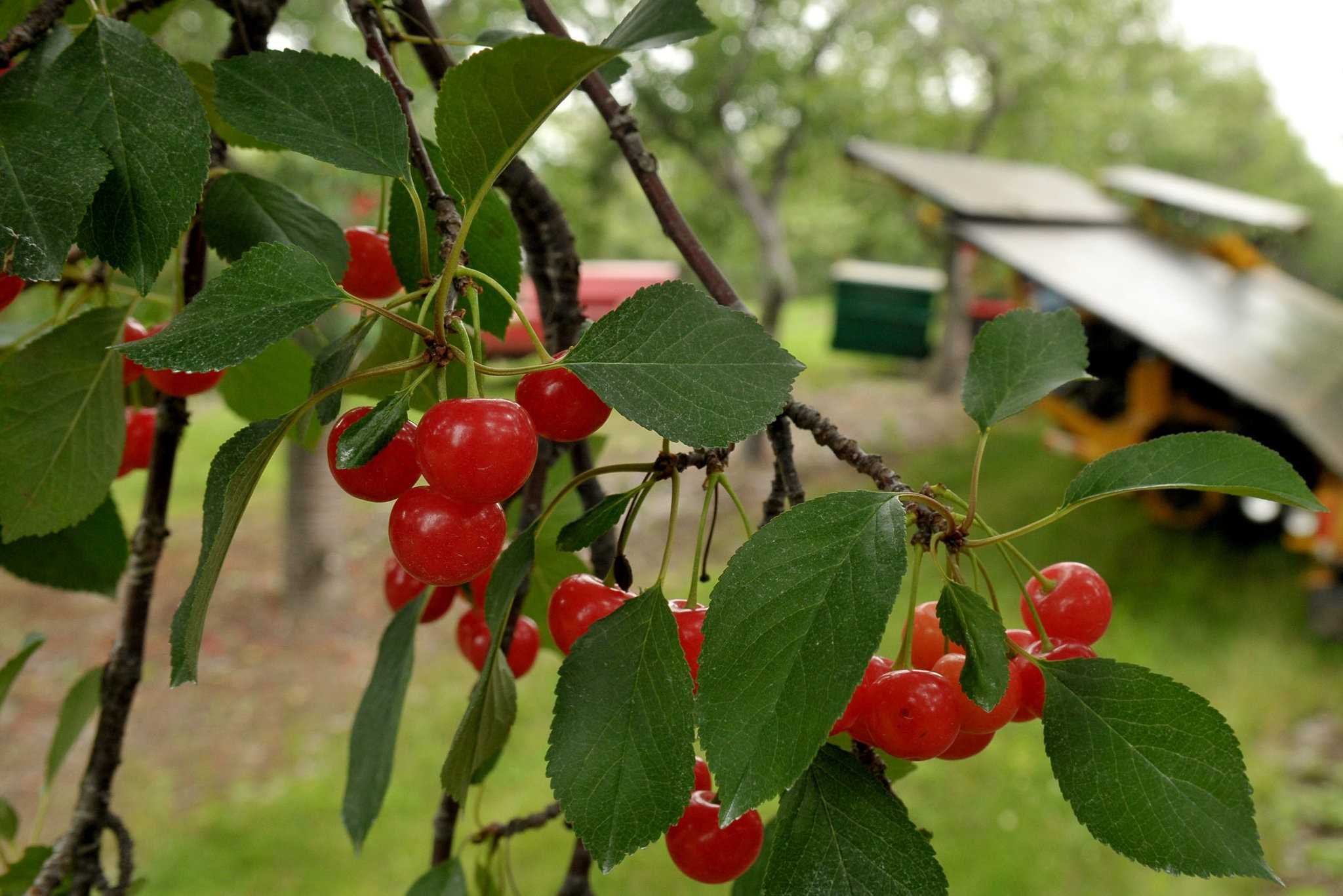 Montmorency tart cherries waiting to be harvested in Leelanau County in northern Michigan.CreditJohn L Russell/Associated Press