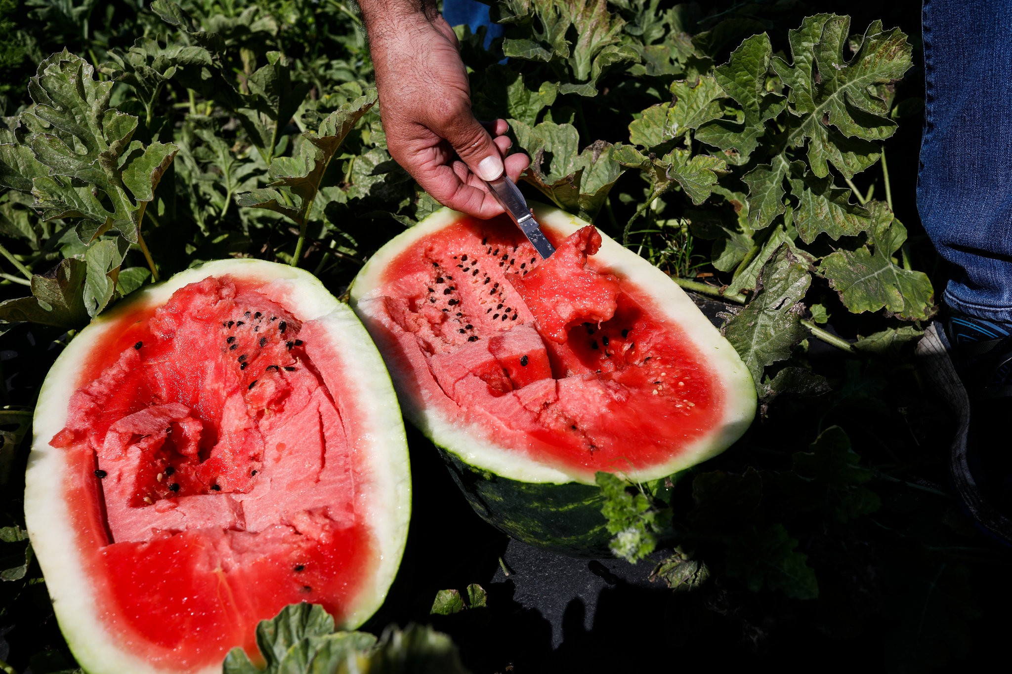 The watermelon season is starting weeks earlier than in past years, from South Florida to the Midwest.CreditEve Edelheit for The New York Times
