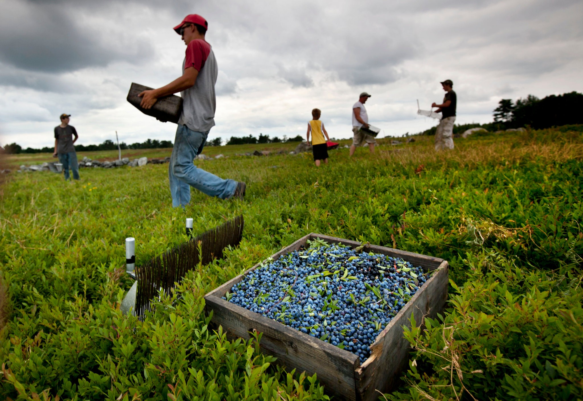 Erratic weather is a threat to the wild blueberry crop in Maine, where some fields are a century old.CreditRobert F. Bukaty/Associated Press
