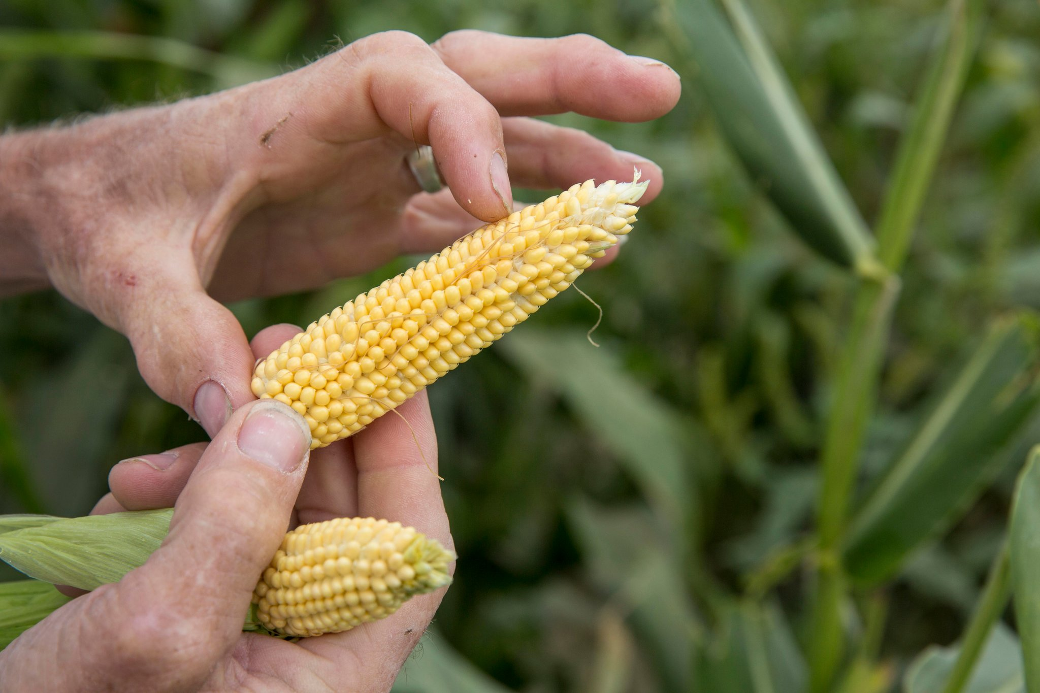 In Shellsburg, Iowa, Gene Mealhow grows ears of heirloom popcorn that reach maturity at about three or four inches.CreditDennis Chamberlin for The New York Times