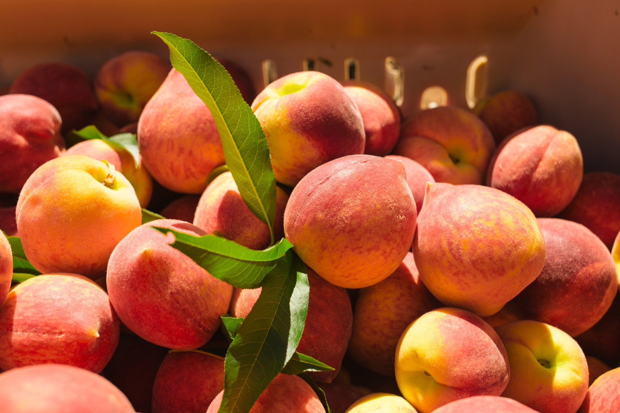 Peaches are a particularly delicate fruit to grow, requiring the right amount of cold weather at just the right time to produce good fruit. CreditMaura Friedman for The New York Times