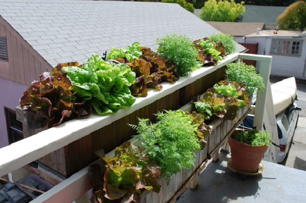 Lettuces-in-the-window-boxes-in-a-balcony.jpg