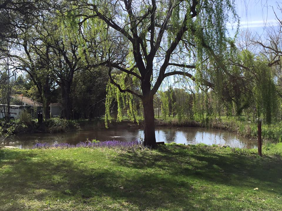 Willow tree & pond in Springtime