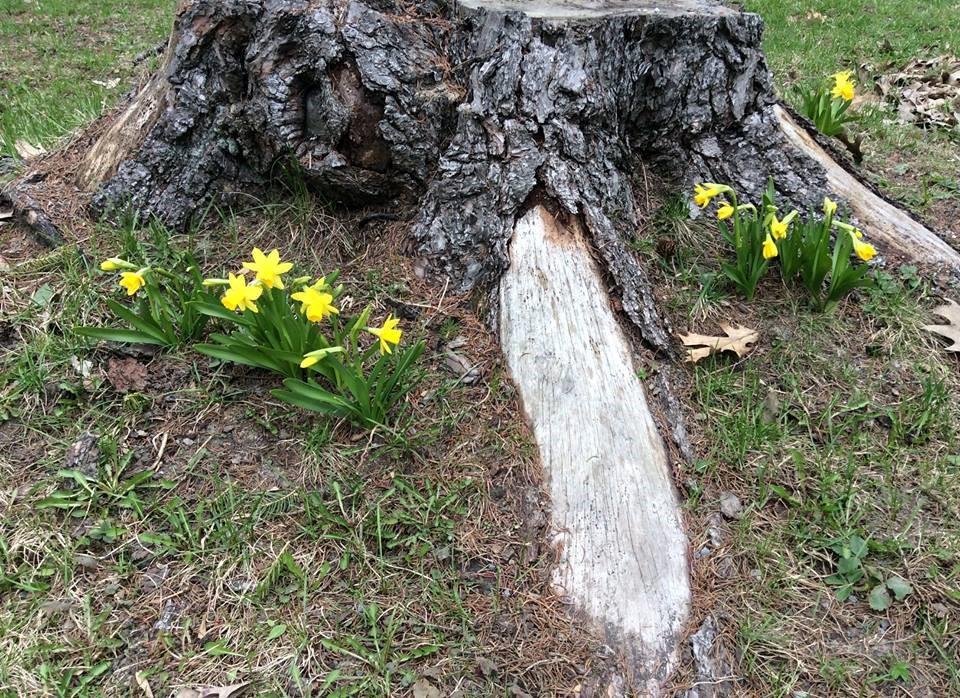 Tree Daffodils.jpg