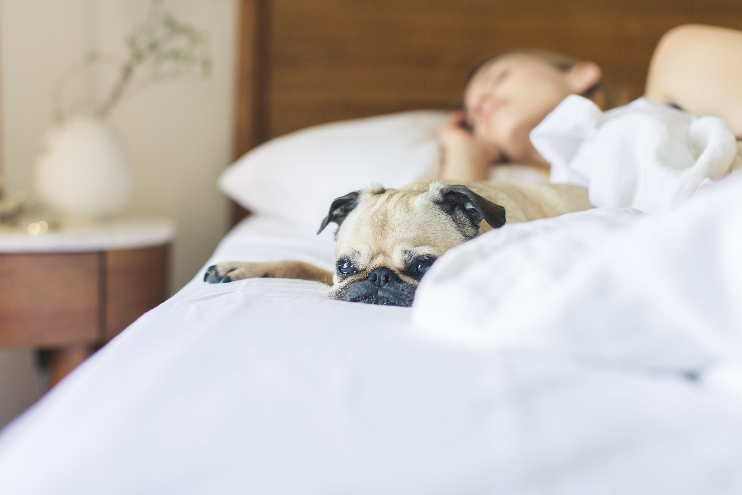 pug-gets-cozy-in-the-morning_4460x4460.jpg