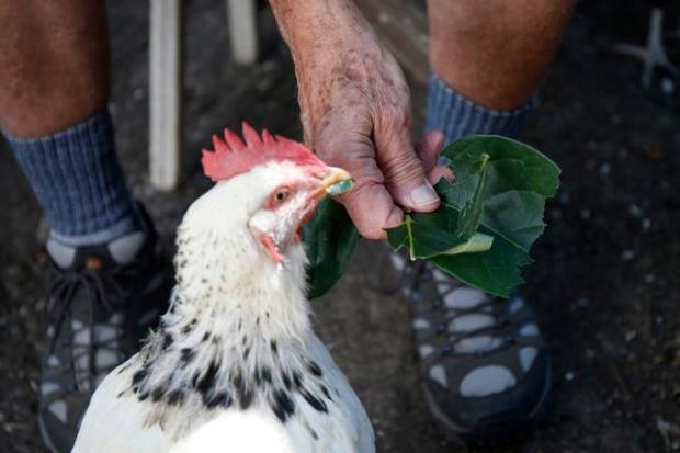 chickern.jpg