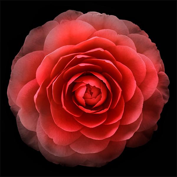 0711 Red Camillia