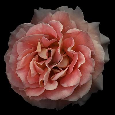 1733 Orange Rose