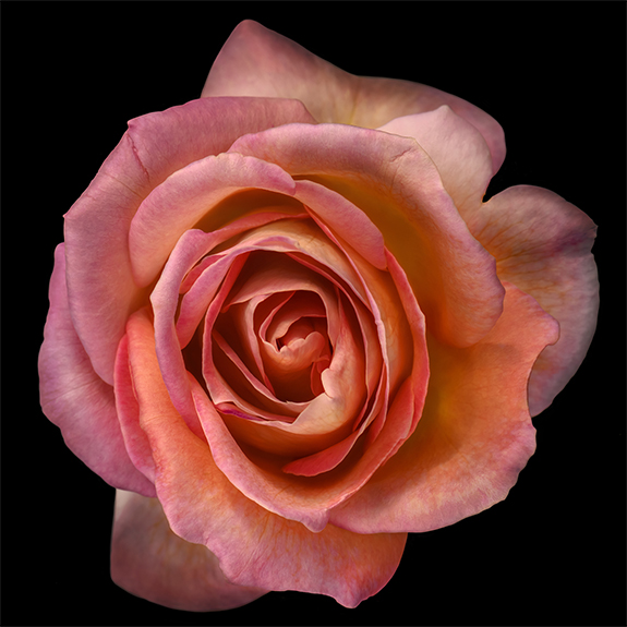 1886 Orange Rose 2