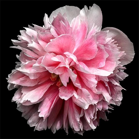 2221 Pink Peony