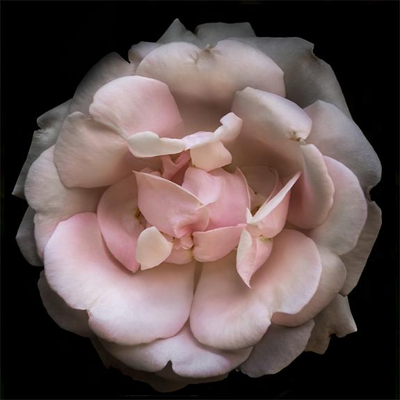 8231 Pink Rose 4