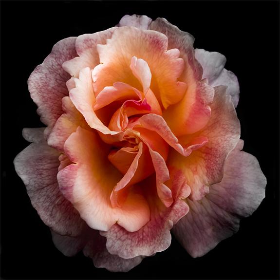 8870 Orange Rose 3