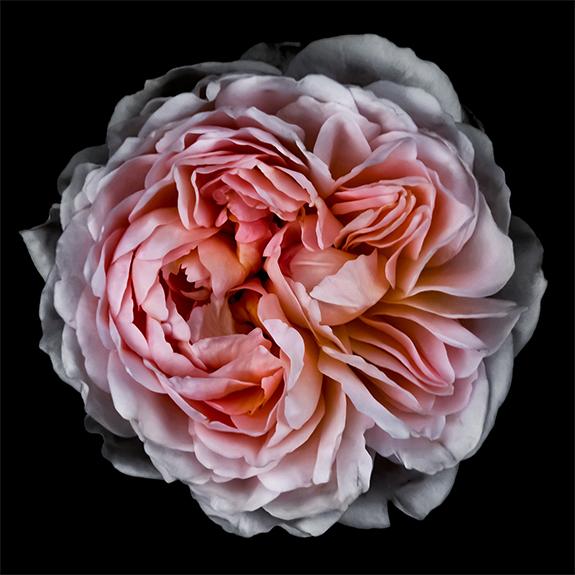 8896 Pink Rose 2