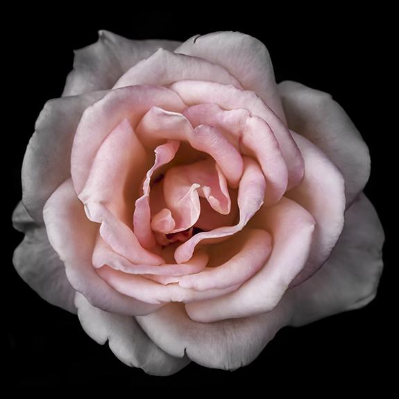 8927  Pink Rose 3