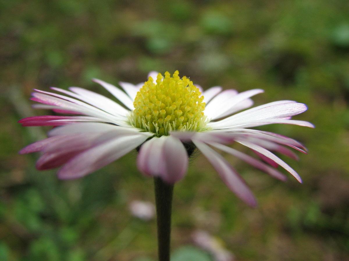 Pink_twinged_daisy_wild.jpg