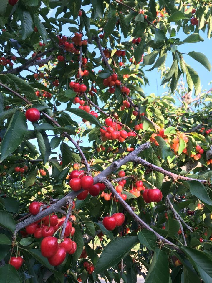 Cherry in brush.jpg