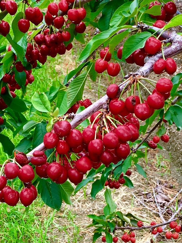 Cherry on tree.jpg