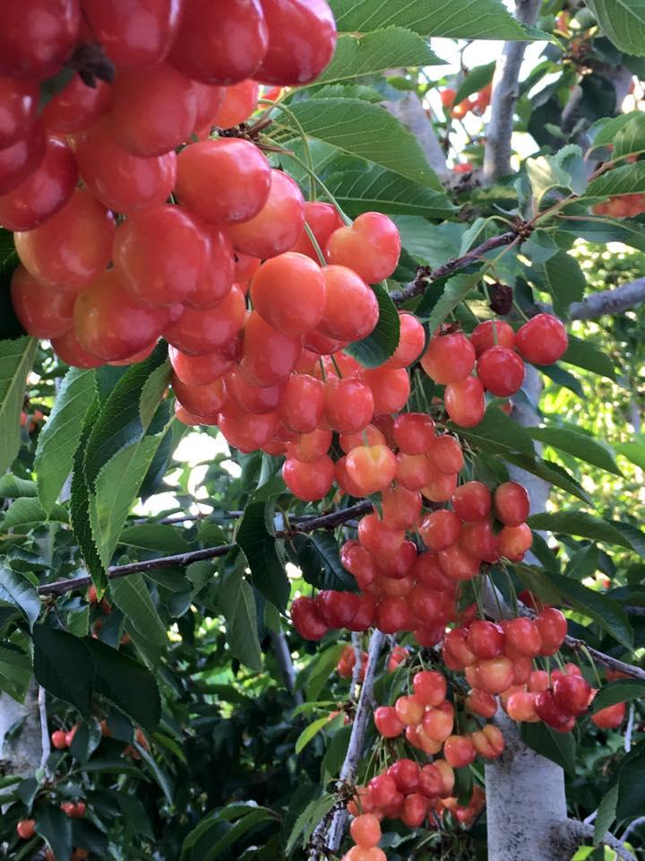 Cherry rainer unpicked.jpg