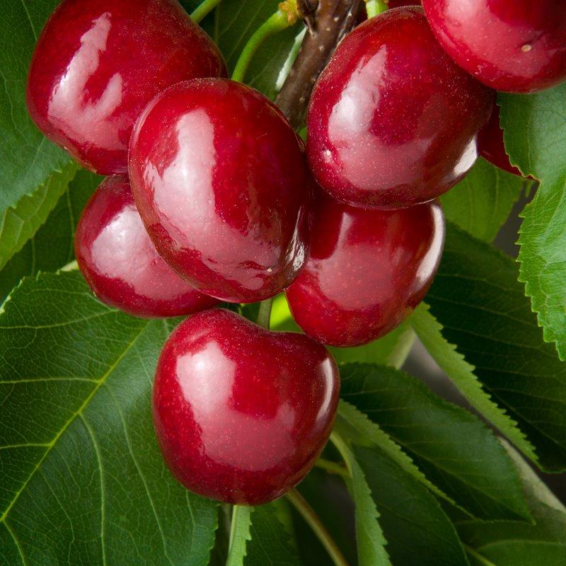 skeena cherries.jpg
